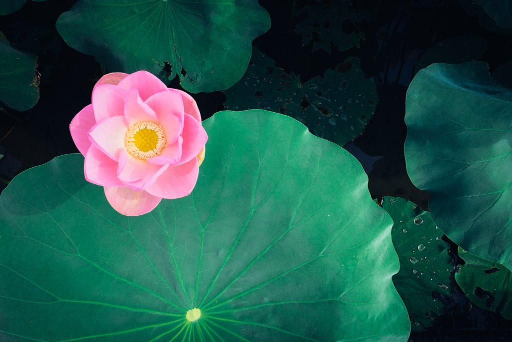 Lotus roz